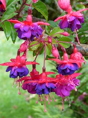 Fuchsia (Marit Buelens) Tags: fuchsia pink purple shrub stagnes islesofscilly scillies scilly ios coveancottage raindrops stamens leaves branch fuchsias