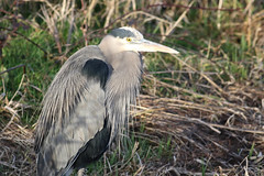 My Feathered Friend (PDX Bailey) Tags: heron grass bird wildlife nature animal state washington telephoto canon camera photography gray grey feather calm peaceful