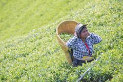 850_2446 (stephho2015) Tags: tea ceylon teaplantation srilanka