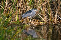 Black-Crowned (DocNordic) Tags: blackcrownednightheron southpadreisland texas heron black crowned bird