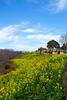 吾妻山の菜の花 (mrhs55) Tags: 吾妻山 神奈川県 二宮 菜の花 富士山