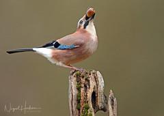 Jay (oddie25) Tags: canon 1dx 600mmf4ii jay acorn wildlife wildlifephotography nature naturephotography birds birdphotography bird