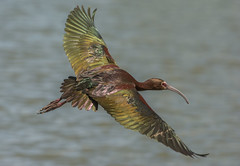 White-faced Ibis (Plegadis chihi) (fugle) Tags: inflight ibis whitefacedibis virginialake reno washoeco nevada