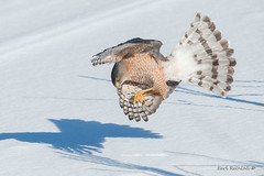 The pounce (Earl Reinink) Tags: bird animal raptor predator earl reinink earlreinink nikon nature outside winter snow ice cold hawk coopershawk rdzardadza