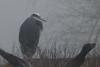 Great Blue Heron - In the fog (Frankyboy5) Tags: ardeaherodias greatblueheron heron blackiespit crescentbeach surrey