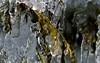 Frozen activity (mpalmer934) Tags: pines shrubs freezing rain ice cold winter january molecules snow