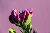 Purple Broom (Rick & Bart) Tags: garden tuin nature januari winter rickvink bartrick purplebroom purple bloom flower
