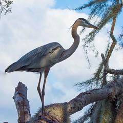 D72_0683 (mcpiano1) Tags: floride2018 oiseaux