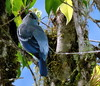 Blue-grey Tanager, Thraupis episcopus (asterisktom) Tags: tripecuadorperu2018 ecuador 2018 january baeza bird vogel ave 鸟 птица 鳥 pajaro bluegreytanager thraupisepiscopus tanager thraupisepiscopuscoelestis