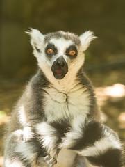 20180119_2392_7D2-200 Ring-tailed Lemur (019/365) (johnstewartnz) Tags: canon canonapsc apsc eos 7d2 7dmarkii 7d canon7dmarkii canoneos7dmkii canoneos7dmarkii willowbank willowbankwildlife willowbankwildlifereserve 70200mm 70200 70200f28 day019 day19 019365 onephotoaday onephotoaday2018 oneaday 365project project365 lemurcatta