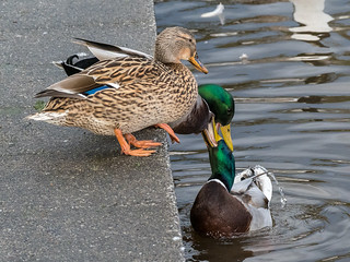 Quarrelsome Ducks