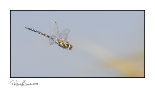 Common Hawker Dragonfly in flight - hawking in the reeds