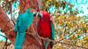 C'était un amour tropical (María Paula Montoya) Tags: loros perroquet animals birds aves colombia colombie nikon nikond5100 barichara america nature naturaleza rouge rojo red blue bleu azul oiseau colors colores tropical tropique love amour amor