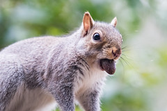 Withdrawing from my saving account (satoshikom) Tags: canoneos6dmarkii canonef100400mmf4556lisiiusm canonef14xiii squirrel acorn backyard weekend