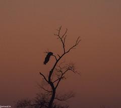 keoldeo-bharatpur-bird-sanctuary-1-3 (103) (jjamwal) Tags: birds birdwatching travel tamron nikon wildlife nature animals india
