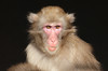 japanese macaque artis BB2A7724 (j.a.kok) Tags: mammal artis animal aap primaat primate monkey makaak macaque macaca japanesemacaque japansemakaak zoogdier dier asia azie
