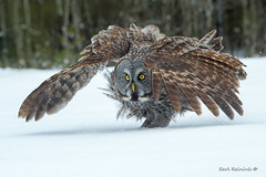 Just a bad hair day.. (Earl Reinink) Tags: owl raptor predator bird animal winter cold snow eyes feathers nikon earl reinink earlreinink trees forest woods flight flying ehtaadtdta