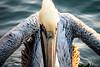 a weird pelican (charlidino) Tags: beach bird birdphotography closeup florida nature naturephotography pelican sea sonyrx10m4 summer zeisslenses
