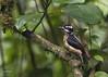 Hairy Woodpecker (Picoides villosus) (Gmo_CR) Tags: picoidesvillosus hairywoodpecker carpinteroserranero costarica coronado monserrat hembra female