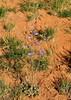 Delphinium, San Juan Co., UT (RonParsonsflowershots) Tags: delphinium sanjuanco ut