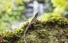 King of the 'fall. (Eddy Summers) Tags: easternwaterdragon lizard reptile bluemountains waterfall lawson nsw australia forest moss rock pentaxk1 pentaxaustralia dfa100mm28