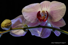 orchid (aika217) Tags: canon eos 77d tamron sp 90mm f28 di vc usd macro11 f017