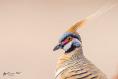 Spinifex Pigeon (R. Francis) Tags: spinifexpigeon geophapsplumifera winton qld queensland southeastqueensland ryanfrancis ryanfrancisphotography portrait
