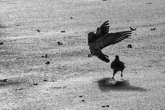 joyeuses retrouvailles des pigeons voyageurs  (in explore) (Pyc Assaut) Tags: joyeuses retrouvailles réunion pigeons des voyageurs noir blanc noirblanc black white blackwhite pyc5pyc pyc5pycphotography pycassaut street scènederue silhouette bitume route rue extérieur