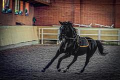 Ukraine. Brech. (vzotov.doc) Tags: horse ukraine brech xf1855mmf284 r lm ois vladimir zotov fujifilm xt1