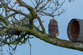The Little Owl / Athene Noctua