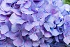 close up (sal tinoco) Tags: blue daytime flower hydrangea hydrangeas leaf leaves purple shadow white fantasticflower