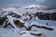 Snowy Photobomber_T3W2837_MG_6200 (Alfred J. Lockwood Photography) Tags: alfredjlockwood nature composite landscape brycecanyonnationalpark snow treeskeleton frosting snowyowl canadianraptorconservancy crc flight landing photobomber utah canada photomanipulation