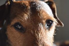Patterjack Eyes (Flexbear) Tags: dog pet patterdale jack russell patterjack eyes hair cute nikond3400 nikon