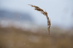 Snowflakes on Seagrass (MichaelThelin) Tags: seagrass grass nature macro sweden snow winter snowing snowflake