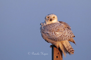 By the dawn's early light Snowy owl juvenile after a preen