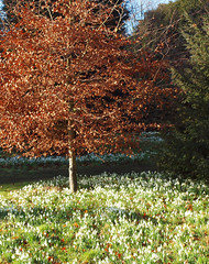 2018_02_0206 (petermit2) Tags: snowdrop snowdrops brodsworthhall brodsworth doncaster southyorkshire yorkshire englishheritage garden gardens heritage heritagegarden