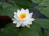 Nymphaea 'Prapunt White' Hardy Waterlily Thailand บัวฝรั่งสัญชาติไทย 'ประพันธ์ไวท์' 12 (Klong15 Waterlily) Tags: prapuntwhite prapuntwhitehardywaterlily waterlily waterlilies hardywaterlilies hardywaterlily prapuntwhitelotus บัวประพันธ์ไวท์ บัวฝรั่ง บัวฝรั่งสัญชาติไทย บัว ดอกบัว บัวสีขาว บัวฝรั่งสีขาว pond pondplant lotusflower landscape landscapes
