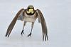 Horned Lark (mikestreicher) Tags: hornedlark lark