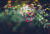 Russell Square (JavierAndrés) Tags: bokeh flor flower fuchsia campanilla bell planta plant nature naturaleza hojas leaves ramas branches verde green violeta púrpura purple rosa pink mojado wet gotas drops agua water húmedo parque park garden jardín russelsquare detalle detail verano summer estación season depthoffield profundidaddecampo dof pdc ciudad city londres london inglaterra england reinounido unitedkingdom viaje viajar travel trip 50mm 14 f14 nikon nikkor d800