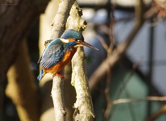 endcliffe park kingfisher sheffield 2018 (2) (Simon Dell Photography) Tags: endcliffe park bingham whitley woods forge dam kingfisher bird rare blue orange winter spring grey animal nature together wildlife sheffield botanical gardens simon dell photography 2018 feb 24 sunny detail high res perched sitting fishing