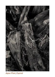 Agave plant expired (mono, digital)