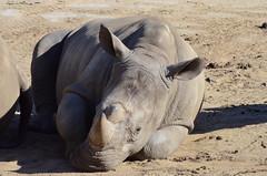 DSC_4286 (Andrew Nakamura) Tags: animal mammal rhino rhinoceros whiterhinoceros southernwhiterhinoceros southernwhiterhino rhinojuvenile lyingdown sleeping naptime sandiegozoosafaripark safaripark escondido