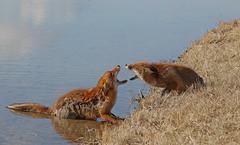 1272 (Yvonne Steenbergen Zandvoort) Tags: fox foxes vos vossen yvonnesteenbergen natuur nature amsterdamsewaterleidingduinen zandvoort dier dieren animal animals redfox wildlife