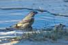 Grote Kruisbek Female (Loxia pytyopsittacus - Parrot Crossbill) (gipukan (rob gipman)) Tags: grote kruisbek loxiapytyopsittacus parrotcrossbill 177a3841 female canon 5d4 eos canon100400lis netherlands birds vogel trek