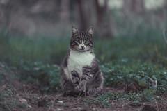 My cat (Vagelis Pikoulas) Tags: pet cat kitten animal animals greece vilia bokeh tamron 70200mm vc