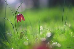 La fleur dans le matin (jpto_55) Tags: fleur fritillairepintade bokeh xe1 fuji fujifilm omlens om135mmf28 hautegaronne france flickrunitedaward