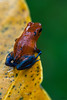 Strawberry Poison Frog (Christian Sanchez Photography) Tags: macrophotography macro macrofrog macrophoto mammals macrosnake poisonsnake poison frog reflexion redstar toucan reptile frogs francolin costaricabirds