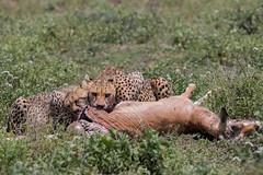 A family Dinner (Hector16) Tags: ndutu wildebeestmigration eastafrica tanzania serengeti migration wildlife nature arusharegion tz gettyimages