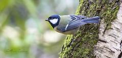 Great Tit... (Catherine Cochrane) Tags: birds nature outdoors uk ayrshire scotland greattit wildlifephotographers wildlife avian