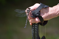 Dragon Fly Chameleon (Phil-image-444) Tags: hawkesbay newzealand dragonfly insects william hartree memorial scenic reserve wildlife chameleon